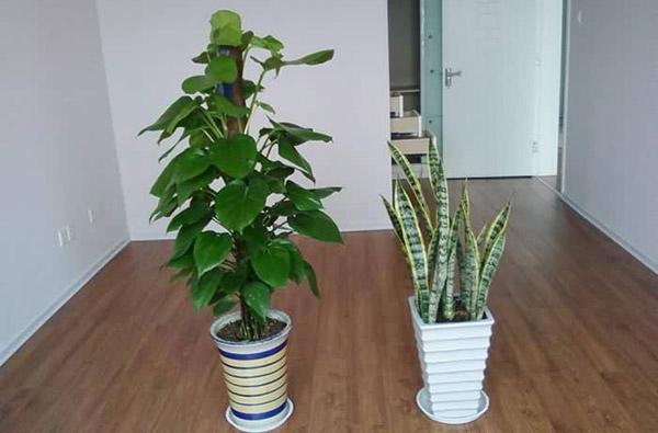 装修植物除味