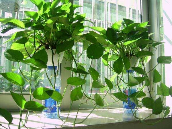 装修除甲醛方法2:植物吸收
